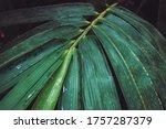 Close Up Branch Of Bambusa...