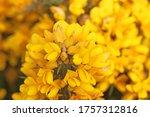 Gorse Bush In Flower In Close...