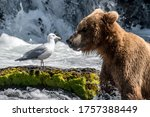 Brown Bear In The River At...