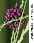 Purple Flower Of Garlic Close...