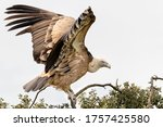 Griffon Vulture Is A Large Old...
