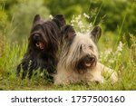 Two Skye Terriers In The Summer ...