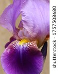 Closeup Of Two Toned Violet...