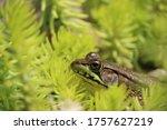 Pond Frog Camouflaged Blending...