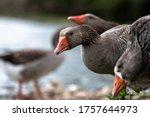 Wild Goose Portrait. A Wild...