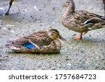 A Female Mallard Duck Resting...