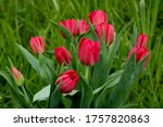 Bouquet Of Red Tulips In The...