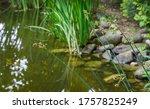 Schoenoplectus Lacustris  The...