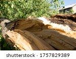 A Broken Tree After A Hurrican...