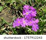 Wild Alpine Spring Flowers On...
