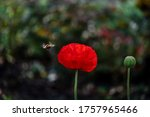 Poppies And Bumblebee. Poppy...