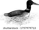 Loon Is A Diving Aquatic Bird...