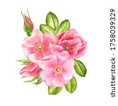 Watercolor Drawing Wild Rose...