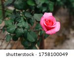 Coral Rose Flower In Roses...