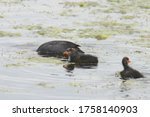 American Coots  An Adult And...