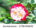 "Hybrid Tea Rose ""double Deligh..."