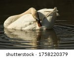 A White Swan Poses In The Lake...