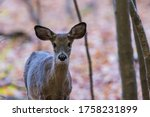 Young White Tailed Deer ...