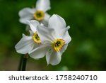 Close Up Of White Narcissus...