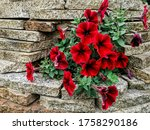 A Bush Of Bright Red Petunia...