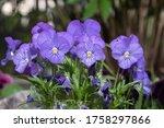 Colorful Viola Flowers  Flower...