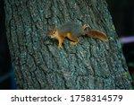 Curious Squirrel Peeking Behin...