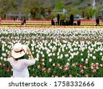 A beautiful woman wearing a white hat is standing relaxed and freely in a tulip grove background,Festival Tulips at Srinagar Garden,India