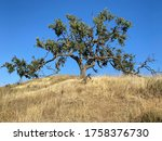 Majestic Oak Tree With Branches ...