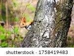 Squirrel on the tree in forest. ...
