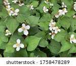 Small photo of Green heart shaped leaf and white flowers of Houttuynia cordata or also known as fish mint, fish leaf, rainbow plant, chameleon plant, heart leaf, fish wort, Chinese lizard tail, or bishop's weed