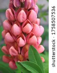 Pink Lupine Flower In Bloom...
