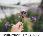 Verbena Flower In My Hand For...