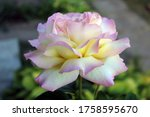 A Rose With White Petals And...
