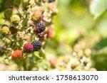 Blackberries Growing And...