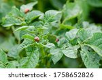 Vegetable farm background with green potato leaves and colorado insect beetles bugs harm pest organic food harvest