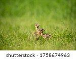 Big Bustard In Green Grass