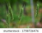 Macro Seeds Of Wild Grass On A...