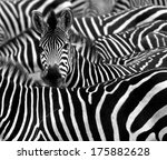 Close up from a zebra...