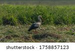 Stork On Summer Field With...