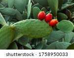 Prickly Pear Cactus  Opuntia...