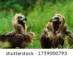 Group Of Vulture. The Cinereou...