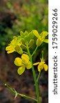 Indian Musterd Flower Yellow...