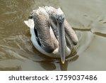 Australian Pelican Floats On...