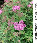 Small photo of Small pink flowers of Spiraea japonica or Japanese meadowsweet or Japanese spiraea or Korean spiraea or Spiraea bumalda Burv.