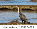 White Breasted Cormorant By...