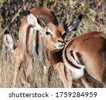 A Young Male Impala Antelope...