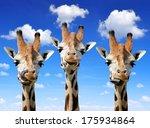 Stock photo  giraffes 175934864