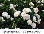 Rose Bush In Bloom. White Rose