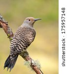 A Female Northern Flicker Of...