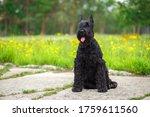 Giant Schnauzer Dog With Wavy...